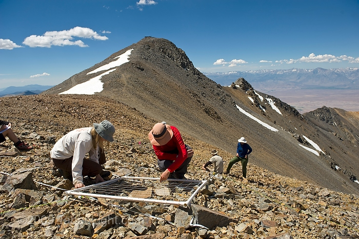Setting up the grids and starting the species count on  the 14,000 foot summit of White Mountain for the first US 5-year resurvey as part of the Global Observation Research Initiative in Alpine Environments or (GLORIA) climate change survey at the first US master-site in the White Mountains.