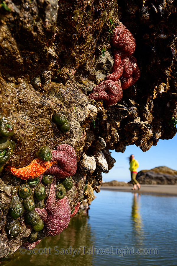 Pillars of starfish at low tide on Bandon Beach in Oregon